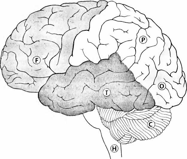 большие полушария мозга картинка повреждает мембраны