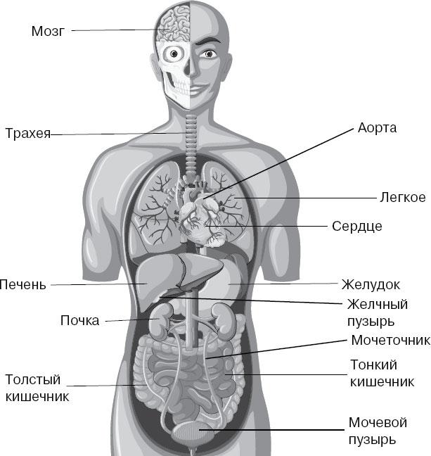 Картинка все органы человека