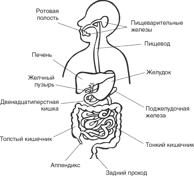 Пищеварительная система с картинками